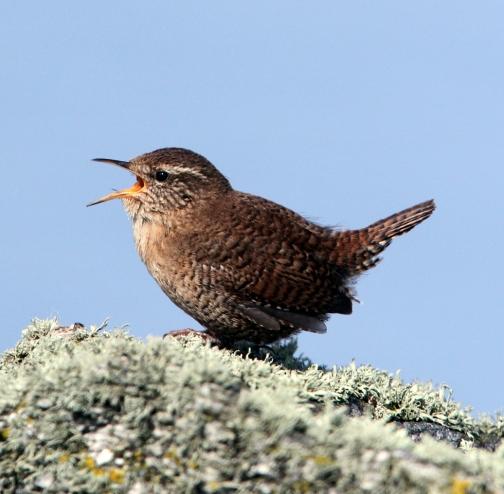 140503 Shetland Wren Song2
