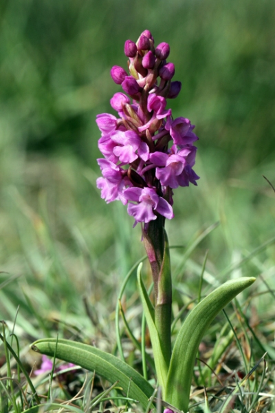 140712 Heath Fragrant Orchid1 blogsize
