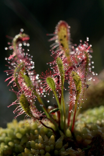 140719 Great Sundew North Roe2
