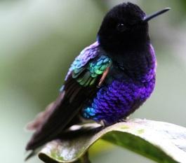 Velvet-purple Coronet JDunn2014