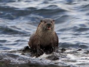 IMG_1155 Otter