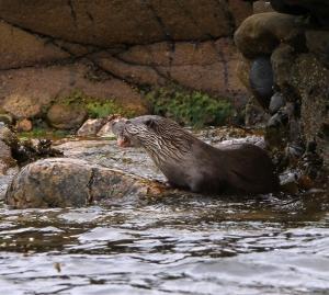 150524 Otter Bressay shore