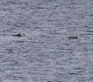 150920 Harbour Porpoises