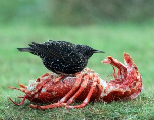 Starling on Lobster carcass blogsize