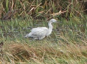 151011 Spiggie egret1