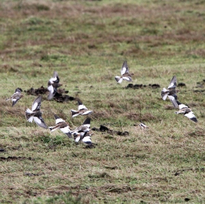 151101 Snow Buntings Skaw Whalsay