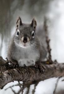 151108 Pine squirrel
