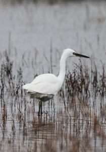 151109 Little Egret Symbister1