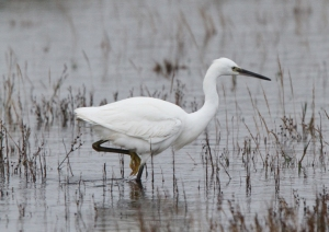 151109 Little Egret Symbister2