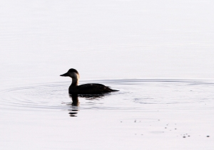151115 Common Scoter Whalsay2 blogsize