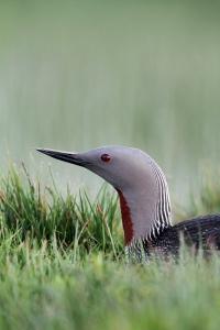 150629 Red-throated Diver emailsize