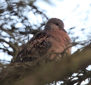 151208 meena Rufous Turtle Dove Scalloway blogsize