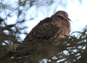 151208 meena Rufous Turtle Dove Scalloway2 blogsize