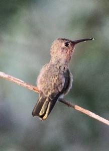 IMG_1309 Buffy Hummingbird crop blogsize