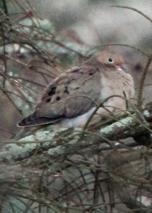 160101 Mourning Dove Lerwick blogsize