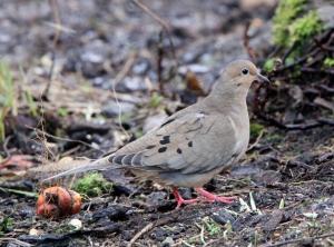 160112 Mourning Dove Lerwick crop blogsize