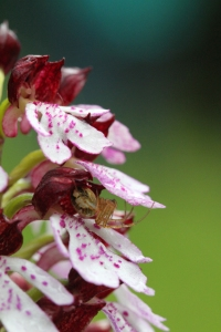 IMG_3229 Lady Orchid spider in rain blogsize