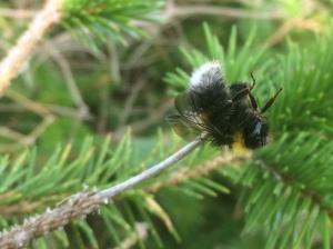 shrike-bees-img_8027