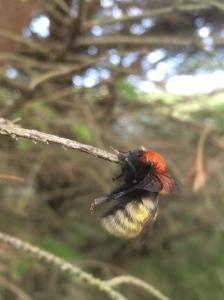 shrike-bees-img_8030