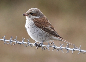 shrike-mice-img_8036