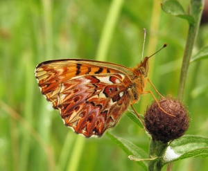 titanias-fritillary-by-a-borrows