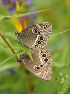 woodland-brown-pair-in-cop-by-j-maddocks