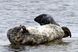 IMG_0667 Grey Seals