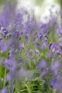 IMG_7211 Kent English Bluebell woodland edit