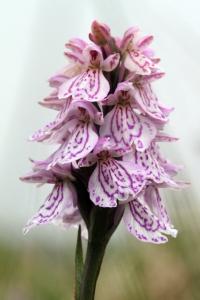 140617 Heath Spotted Orchid Fetlar