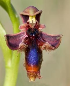 King Ferdinands Orchid