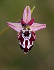 ophrys-cretica-beloniae