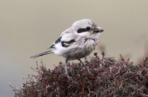 171021 Steppe Grey Shrike Vevoe Whalsay edit IMG_1620[1] crop tweetsize