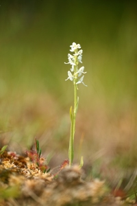 AP6I0993 edit White Bog Orchid Platanthera dilatata twtsize