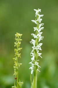 AP6I1156 edit both Platanthera side by side twtsize