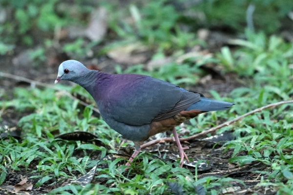 AP6I5800 edit Grey-headed Quail-dove blogsize