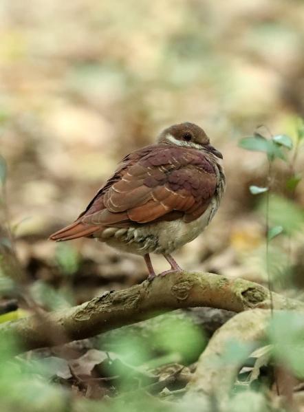 AP6I6100 edit Ruddy Quail-dove crop twtsize