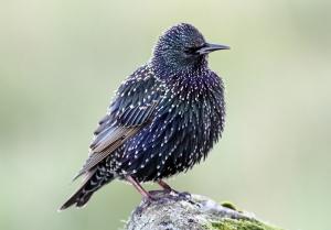 161030 Shetland Starling IMG_9595[1] tweetsize
