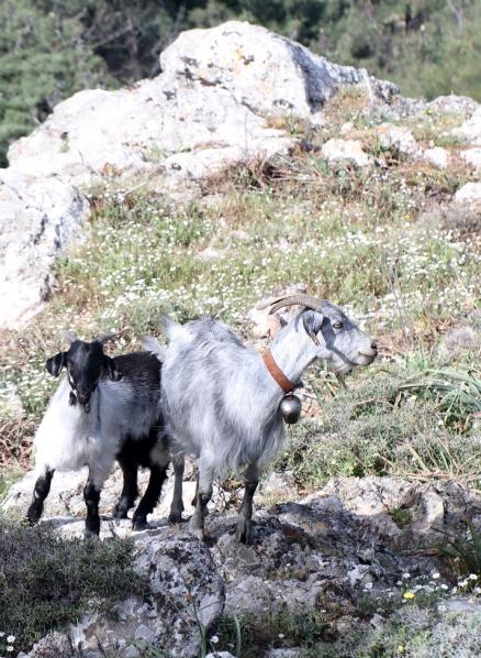 AP6I1724 edit crop goats at a picta site