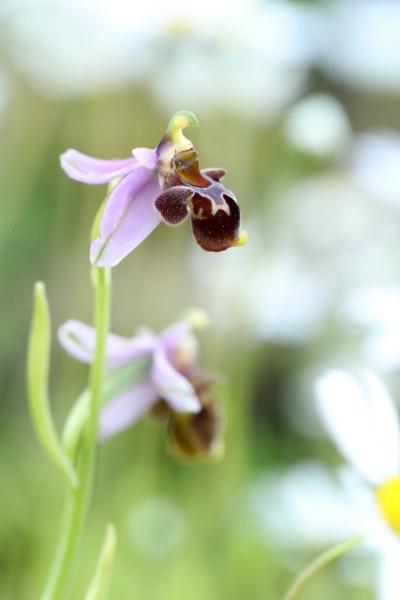 AP6I5743 Ophrys dodekanensis edit tweetsize