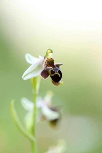 AP6I5818 Ophrys dodekanensis edit tweetsize