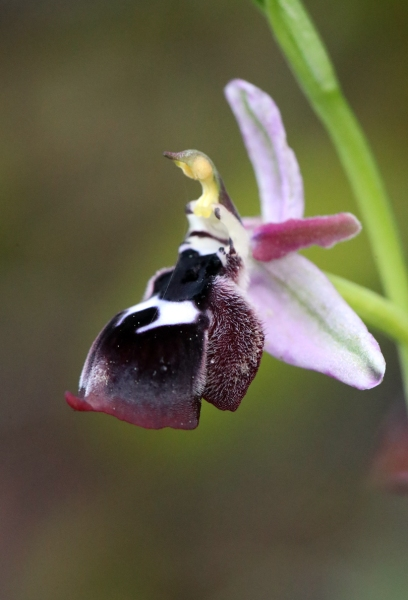 AP6I5887 Ophrys rheinholdii edit tweetsize