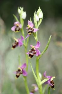 AP6I6249 edit Ophrys heldreichii ssp polyxo blogsize