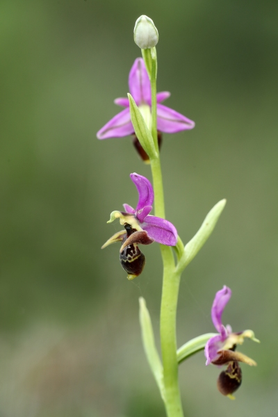 AP6I6367 edit Ophrys cornutula blogsize