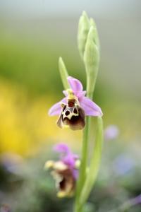 AP6I6542 Ophrys halia edit tweetsize