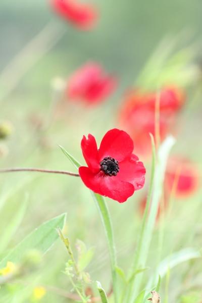 AP6I6923 Turkish Buttercup Ranunculus asiaticus edit tweetsize