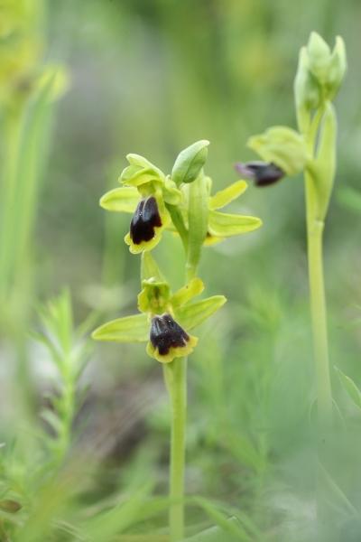 AP6I7165 Ophrys blitopertha edit tweetsize