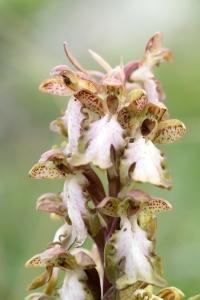 AP6I7347 Himantoglossum robertianum edit blogsize
