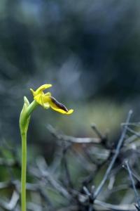 AP6I7552 Ophrys phrygana edit blogsize