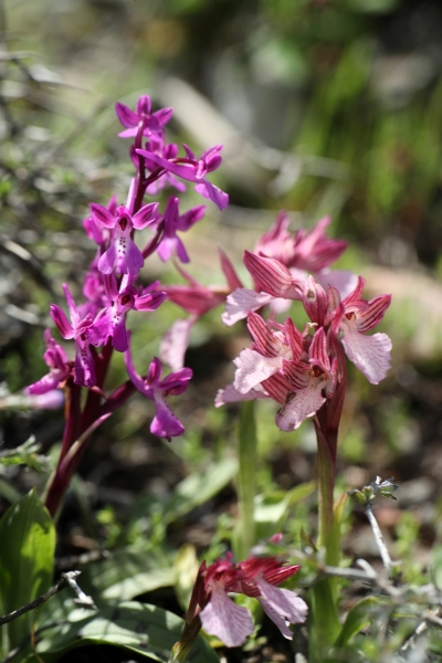 AP6I7865 Orchis anatolica and Anacamptis papilionacea blogsize