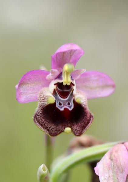 AP6I7882 Ophrys tenthred edit crop tweetsize